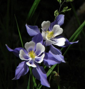 colorado-columbine1